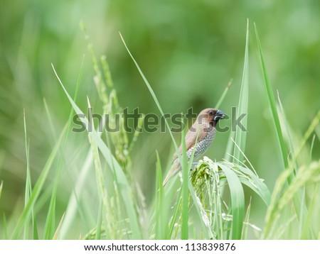 bird in paddy