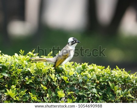 Bird in the City. Light-vented Bulbul (Pycnonotus sinensis) or Chinese bulbul perched on a green bush in peace memorial pack, Taipei , Taiwan.