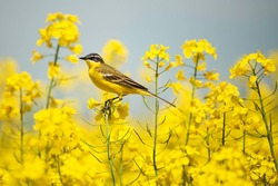 bird in yellow flowers, rapeseed