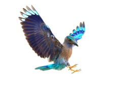 Bird (Indian Roller) isolated on white background