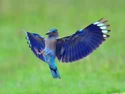 Bird (Indian Roller) , Thailand