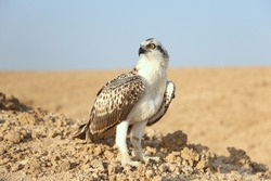 Bird is an osprey on sand san close up. Portrait of osprey (Pandion haliaetus) sitting on rock ridge in Sahara desert Observation animal world. Really adventure in Red sea, coast Africa