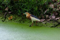 Bird, Javan Pond Heron ( Ardeola speciosa ) in the wild near the lake