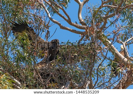 Bird juvenile bald eagle at California nest #1448535209