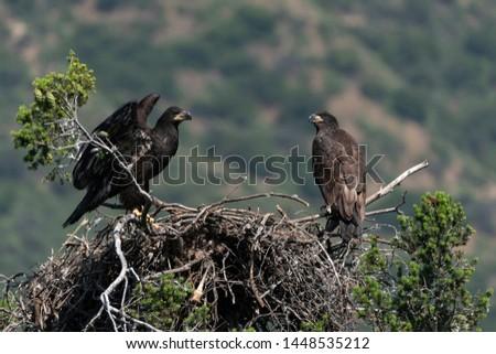 Bird juvenile bald eagle at California nest #1448535212