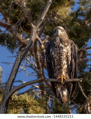 Bird juvenile bald eagle at California nest #1448535215