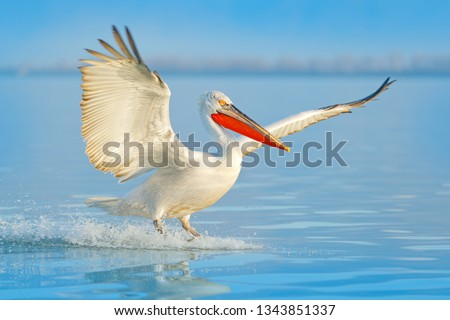 Stock Photo Bird landing to the blue lake water. Bird fly. Dalmatian pelican, Pelecanus crispus, landing in Lake, Turkey. Pelican with open wings. Wildlife scene from European nature.