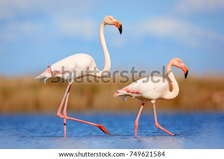 Stock Photo Bird love in blue water. Two animals, walking in the lake. Pink big birds Greater Flamingo, Phoenicopterus ruber, in the water, Camargue, France.