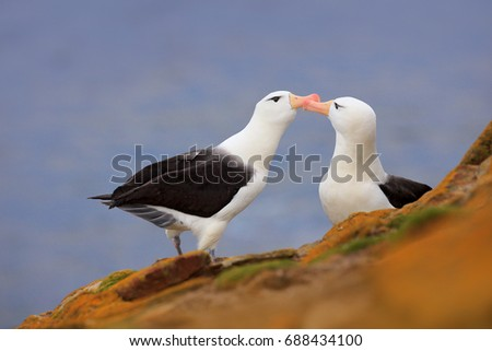 Bird love. Pair of birds Black-browed albratros. Beautiful sea bird sitting on cliff. Albatross with dark blue water in the background, Falkland Island. Albatross with open bill. Albatross courtship. #688434100