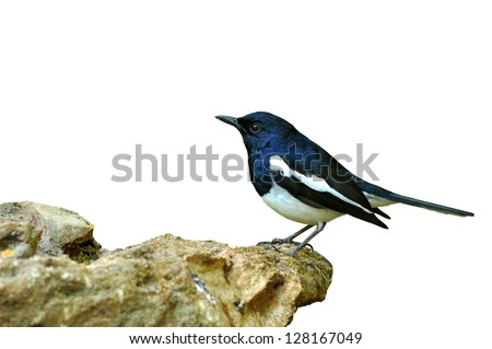 Bird Magpie isolated against white background.
