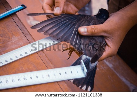 Bird measurement for scientific purposes. Ornithologist work, research, practice. A small bird in the tanned hands of a scientist, a student. Warm tinting, daylight.