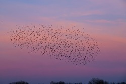 bird migration, flock of migrating birds, migrating birds at sunset