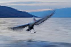 Bird - moving art. Pelican, Pelecanus crispus, landing in Lake Kerkini, Greece. Pelican with open wings. Wildlife scene from European nature. Bird start in the water. Dalmatian pelican in water.