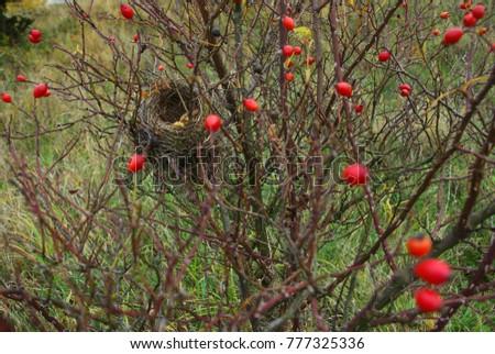 bird nest inside rose hip shrub stock photo