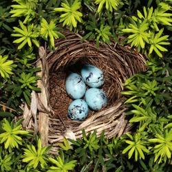 Bird nest on pine tree branches with four blue eggs inside as a symbol of vulnerability fragility and investment safety and conservation for nature and the environment.
