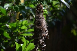 Bird nest, 'Spiderhunter' sparow's nest. Location: Kerala, India Date 21-10-2019.