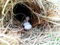 Bird nest white pigeon dove eggs lay in the nest