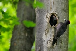 Bird nesting behaviour. Woodpecker with chick in the nesting hole. Black woodpecker in the green summer forest. Wildlife scene with black bird in the nature habitat, Germany, Europe.