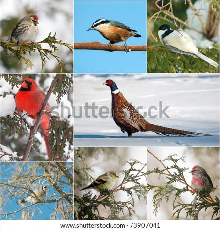 Bird, North American winter birds collage.