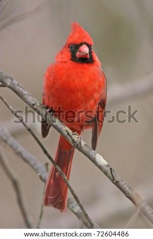 Bird, Northern Cardinal, Male, Front View, Cardinalis cardinalis