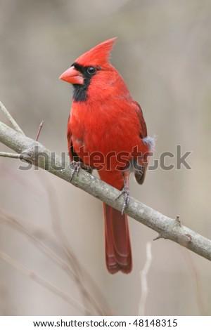 Bird, Northern Cardinal, Male, In Winter, Cardinalis cardinalis