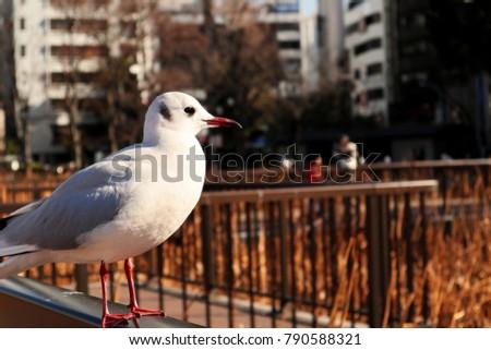Bird of Larus Ridibundus, aka. Yurikamome in Japan