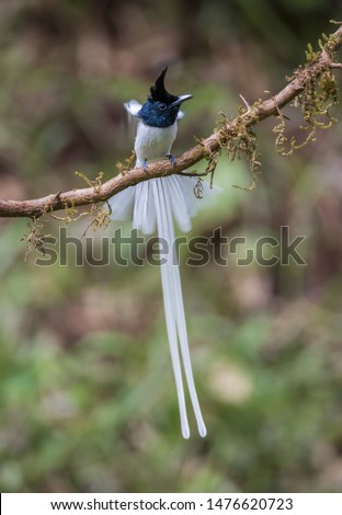 Bird of Paradise- Asian paradise Flycatcher #1476620723