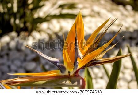 bird of paradise flower #707574538