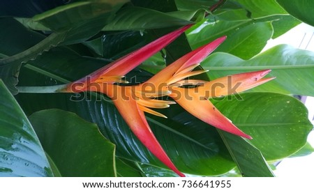 Bird of paradise flower #736641955
