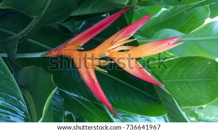 Bird of paradise flower #736641967