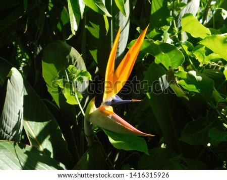 Bird of Paradise Flower Australia #1416315926