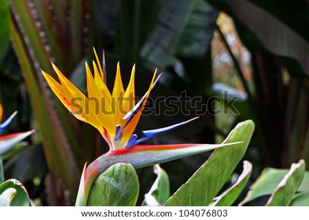 Bird Of Paradise Flower Blooming In Vivid Color