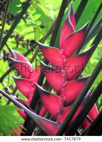 bird of paradise flower blooms in hawaii jungle