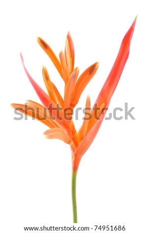Bird of paradise flower isolate on white.