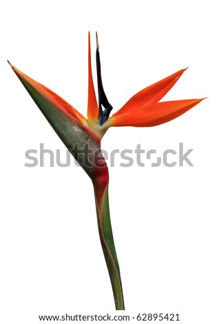 bird of paradise flower on a white background