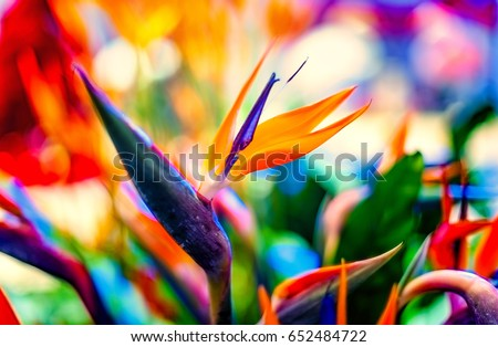 Bird of Paradise flowers in natural background #652484722