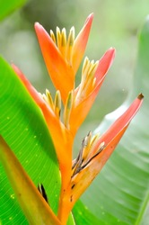 bird of paradise flowers in the garden