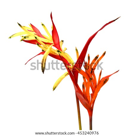 Bird of Paradise Flowers Isolated on a White Background, Tropical Flower #453240976