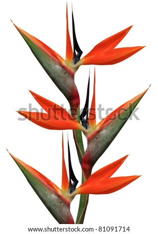 bird of paradise flowers on a white background
