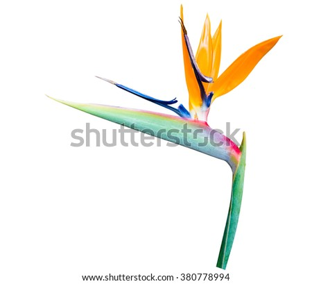 Bird of Paradise Flowers, tropical flower Isolated on White Background #380778994
