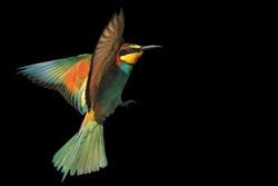 bird of paradise in flight isolated on a black background.wild bird