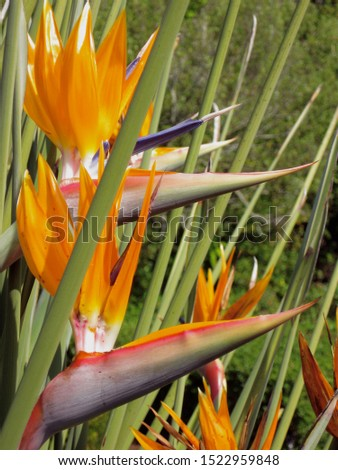Bird of Paradise in Paradise - South Africa