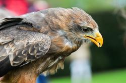 Bird of prey. Bird in flight, eagle hawk during a falconry display