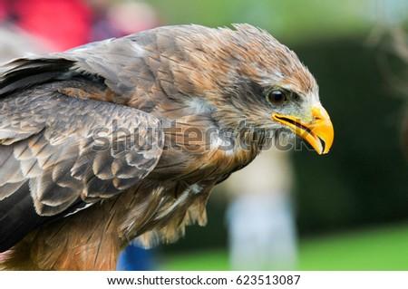 Shutterstock Bird of prey. Bird in flight, eagle hawk during a falconry display