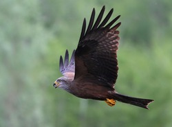 Bird of prey black kite in flight swallows its prey, close-up.