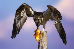 Bird of prey. Eagle osprey and its hunt. Blue sky background. Eagle: Western Osprey.