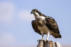 Bird of prey. Eagle Osprey. Blue sky background. Eagle: Western Osprey.