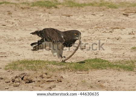 Bird of prey eating a snake
