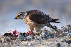 Bird of prey (Falco columbarius). A bird of prey (Falco columbarium) caught a black lark. A bird of prey (Falco columbarius) caught a black lark in the spring and ate it.