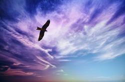 Bird of prey fly in sky - Black Kite (Milvus migrans)